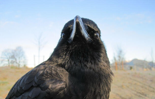 The Misadventures of Canuck, the World's Most Infamous Crow