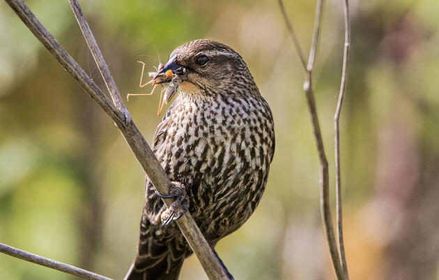 British Birders Chartered Private Flights to See Europe's First Red-winged Blackbird