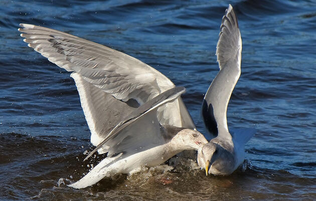 Climate Change Might Have Some Gulls Resorting to Cannibalism