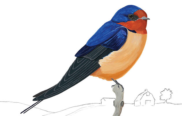 The Barn Swallow Is Slowly Conquering the World
