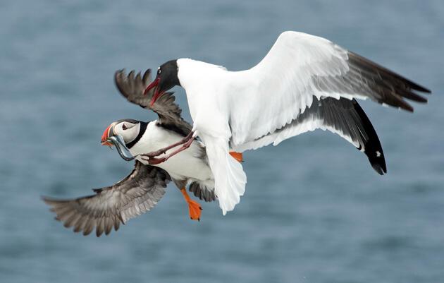 Are Gulls Jerks?