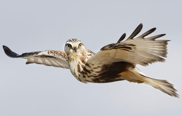 Five Handy Tricks for Photographing Raptors in Flight