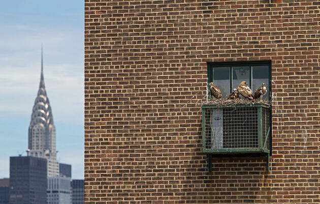 Fearless and Well-Fed, New York City's Red-Tailed Hawks Are Flourishing