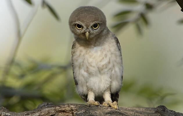 Why Do Owls Bob Their Heads?