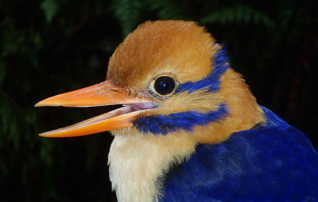 Moustached Kingfisher Photographed for First Time