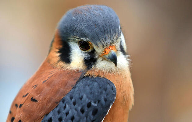 Are Kestrels the New Poster Species for Pesticides?