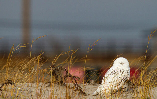 U.S. Court Upholds Airports' Right to Legally Kill Snowy Owls and Other Birds