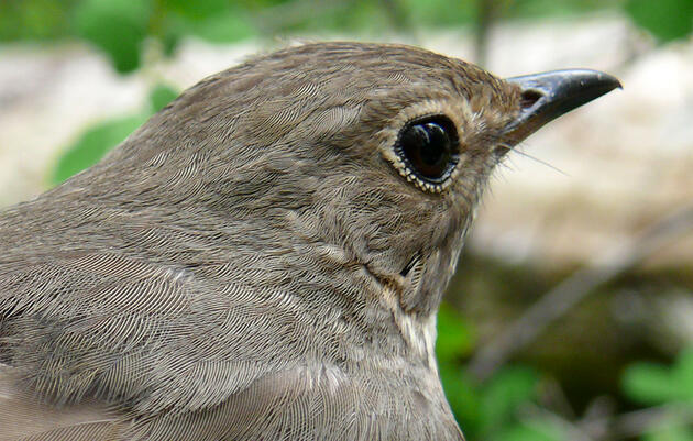 Genes Play a Big Role in Songbirds' Travel Plans