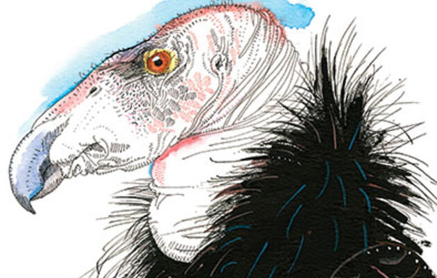 Reimagining the California Condor