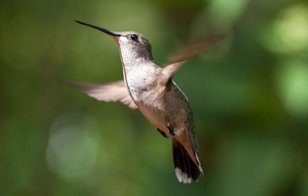 Start Counting Hummingbirds Now