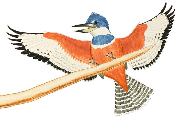The Mighty Ringed Kingfisher Has Invaded Texas
