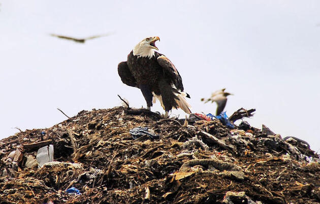 Birdist Rule #44: Learn to Love Landfills and Sewage Treatment Plants