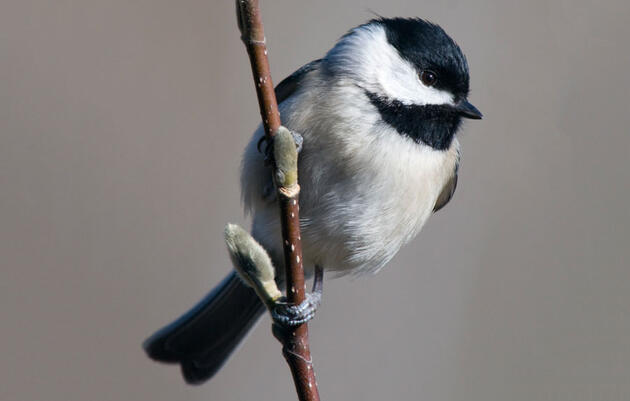 Birdist Rule #71: Figure Out What Kind Of Chickadees You've Got