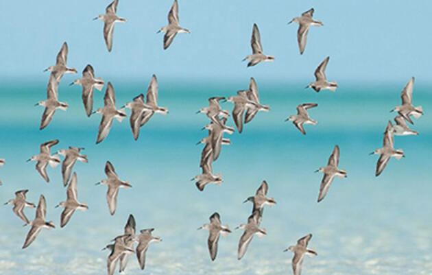 PBS Newshour Zooms in on Piping Plover Efforts