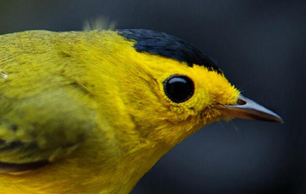 Welcome to Warblerstock, Ohio's Grooviest Birding Festival