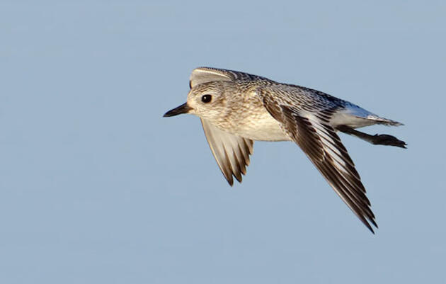 Follow a Young Plover as It Heads South for the Winter