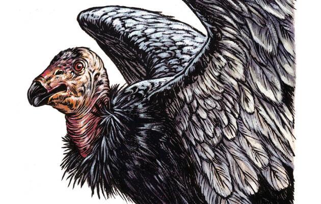The California Condor's Best Shot at Survival