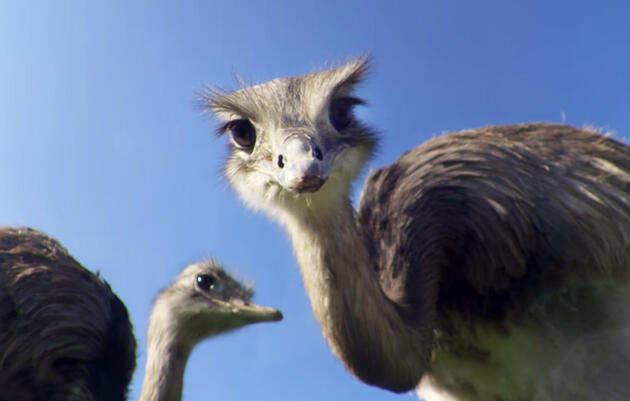 """David Attenborough Explains Why """"Big Birds Can't Fly"""""""