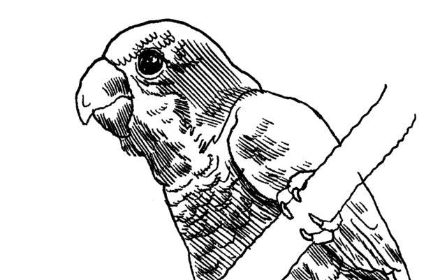 The Monk Parakeet: A Jailbird Who Made Good