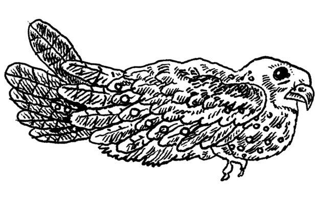 The Oilbird