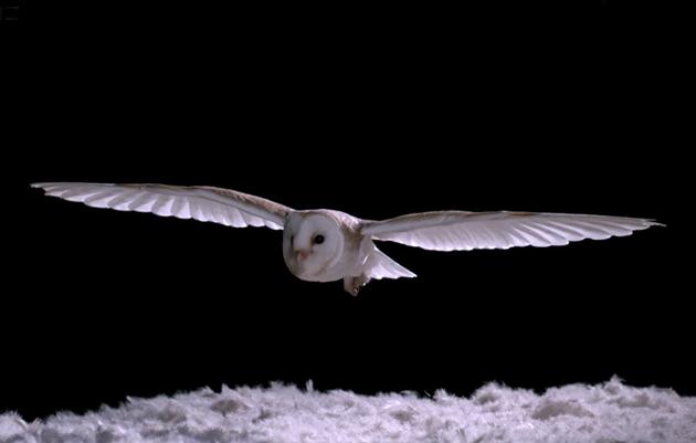 How Do Barn Owls Fly So Silently?