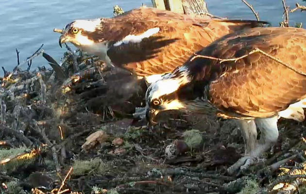Rachel and Steve Left Chick-less After Eagle Raids Nest