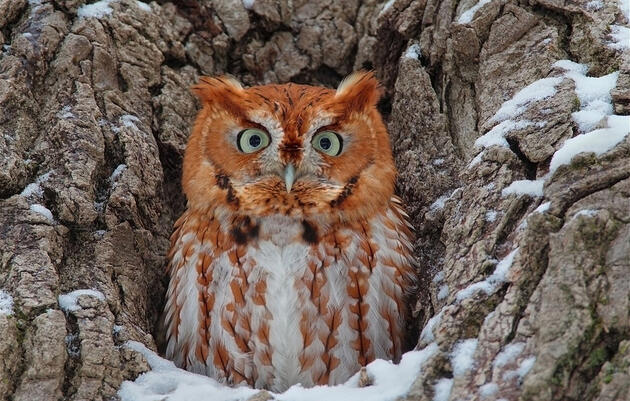 What Would a Screech-Owl Want With a Blind Snake?
