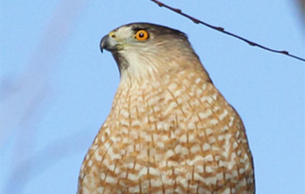 A Beginner's Guide to IDing Cooper's and Sharp-Shinned Hawks