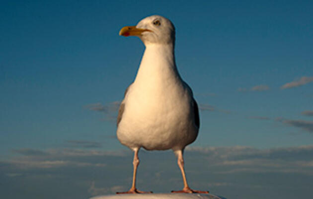 Is the U.K. Looking to Cull Gulls?