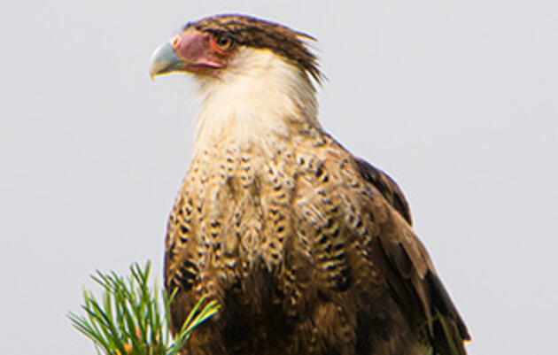 Crested Caracara Spotted in Alberta for the First Time