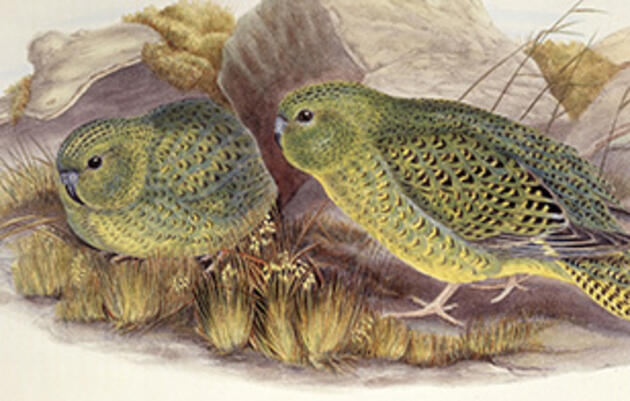 See Rare Footage of a Night Parrot in the Australian Bush