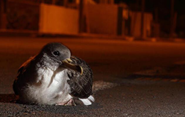 Saving Baby Seabirds From Crash Landings