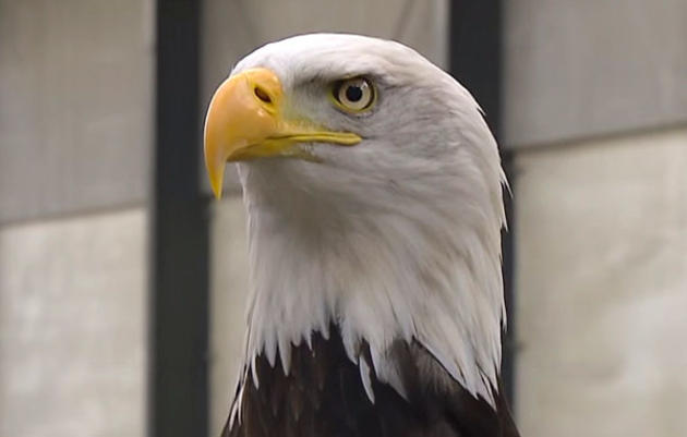 Are Bald Eagles a Good Anti-Drone Strategy?