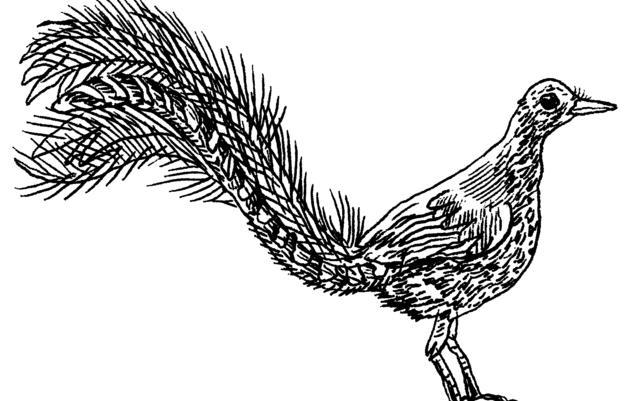 The Lyrebird