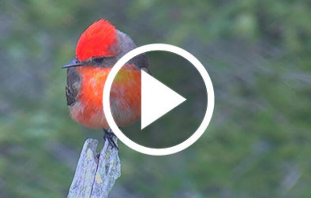 Maine's First Verified Vermilion Flycatcher Captured Live on Hog Island Web Cam
