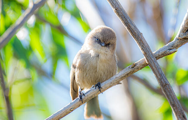 Get to Know the Rambunctious Bushtit