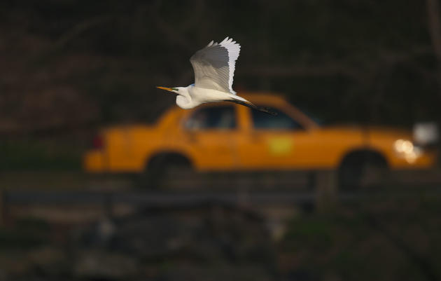 48 Hours of Birding (and Other Things): New York City