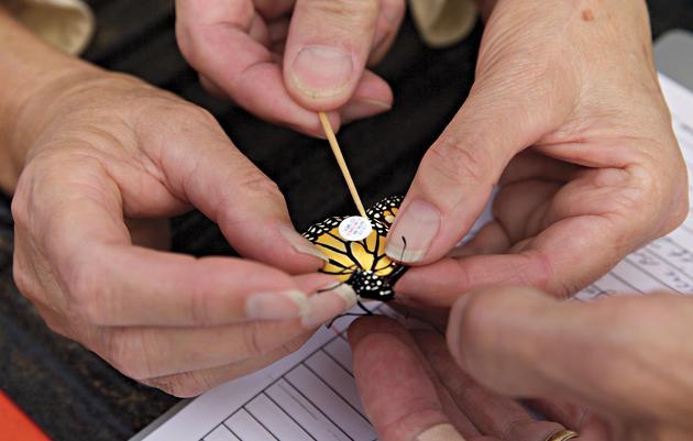Por qué los observadores de aves están pegando calcomanías en las mariposas monarca