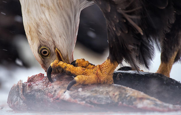 An Alaskan Mine Threatens the Site of the World's Largest Gathering of Bald Eagles