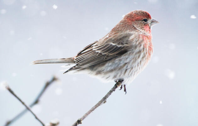 House Finch or Purple Finch? Here's How to Tell Them Apart