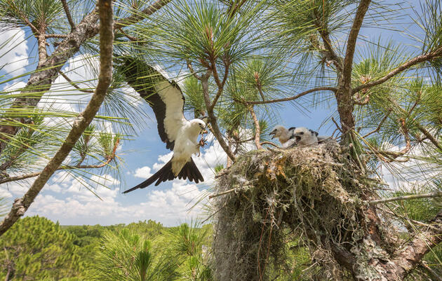 The Secret Lives of Swallow-tailed Kites