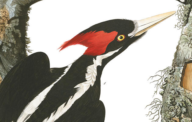 The Quest for the Ivory-billed Woodpecker Heads to Cuba