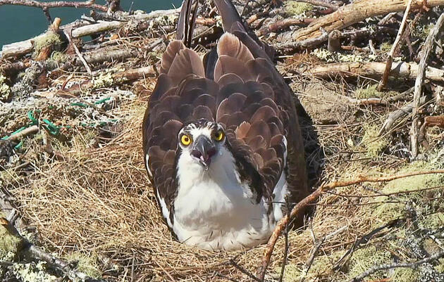 Hog Island, Maine: Osprey Nest Webcam