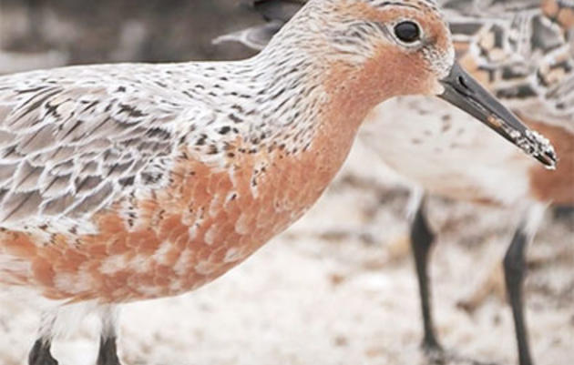 Watch 'Birds of May,' a New Documentary About Red Knots