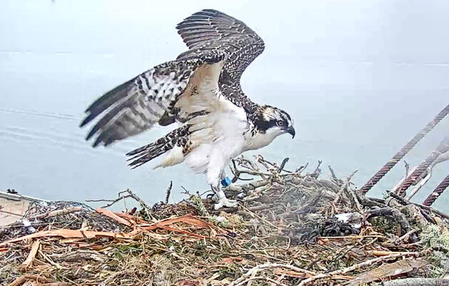 San Francisco, California: Osprey Webcam