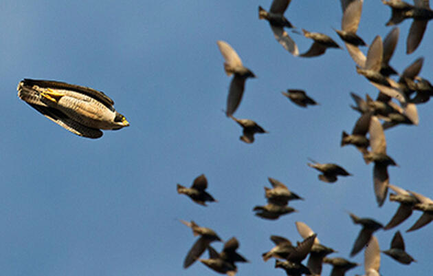Hungry Raptors Make Murmurations Even More Beautiful to Photograph