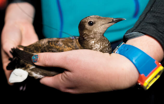 From Sea to Tree, Scientists Are Tracking Marbled Murrelets With Rising Precision
