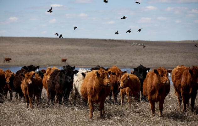 Pastoreo como en 1799: Cómo los ganaderos pueden recuperar las aves de pastizales