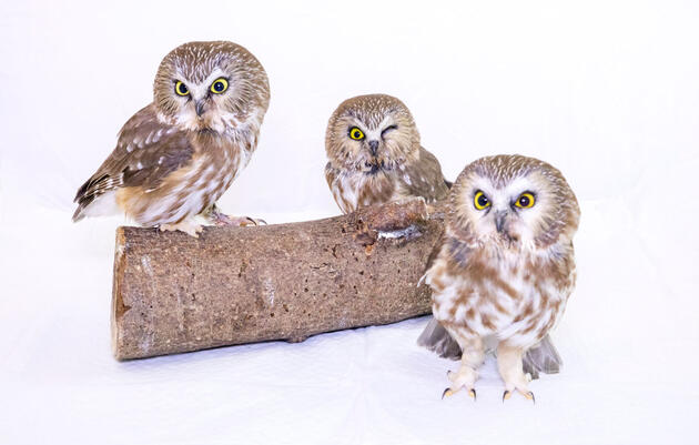Quiz: What Do You Know About Owls?