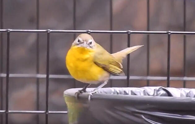 New Video Exposes the Yellow-Breasted Chat as a Total Trash Bird
